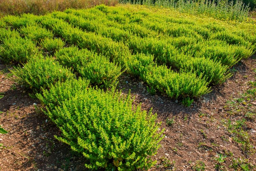 piante-officinali (12)