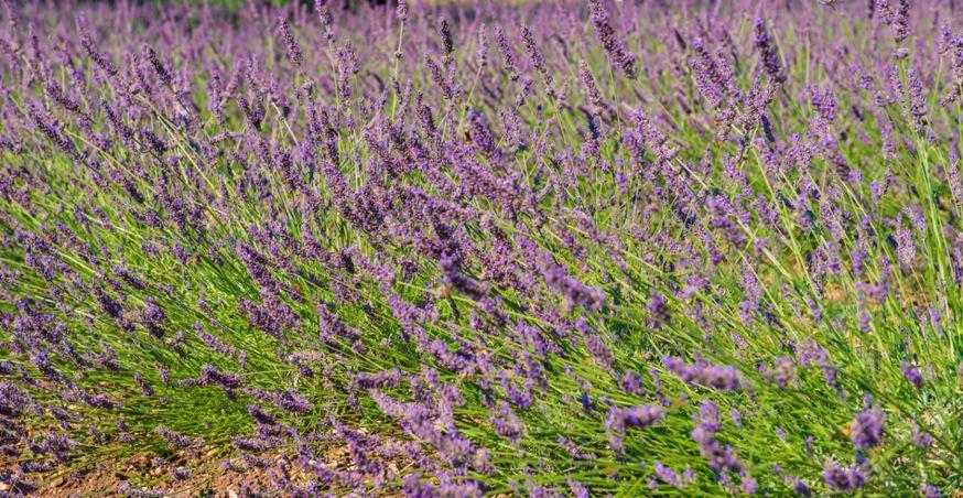 piante-officinali (15)
