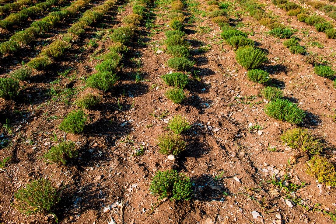 piante-officinali (3)