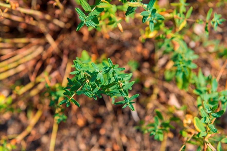 piante-officinali (9)